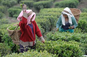 Cina alla scoperta della via del t cinese - I giardini del te ...